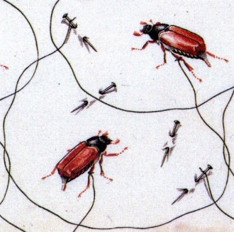 captive beetles