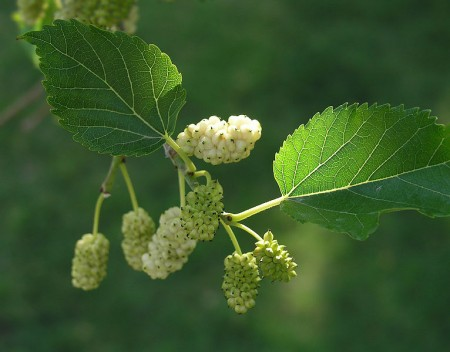 Morus Alba - White Mulberry Tree