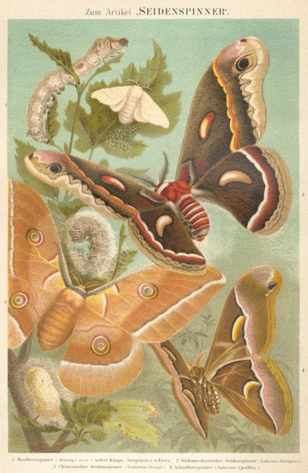 Silk Moths - Public Domain Illustration