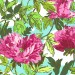 Joy - Twilight Peony - Amaranth